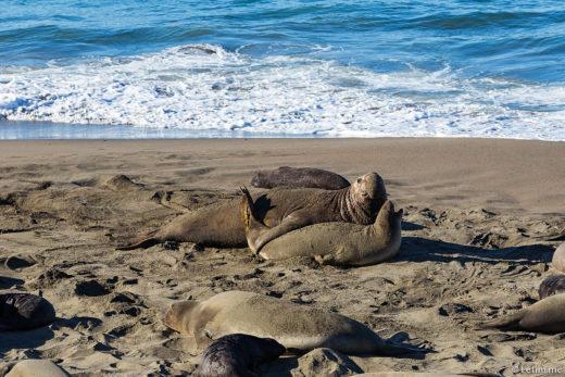Лежбище морских слонов на тихом океане