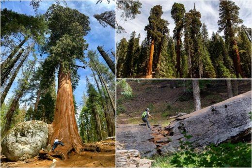 Самые большие в мире деревья